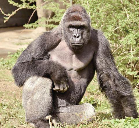 动物园为救孩子射杀大猩猩