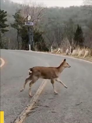 大连野生鹿群,越来越不怕人了?
