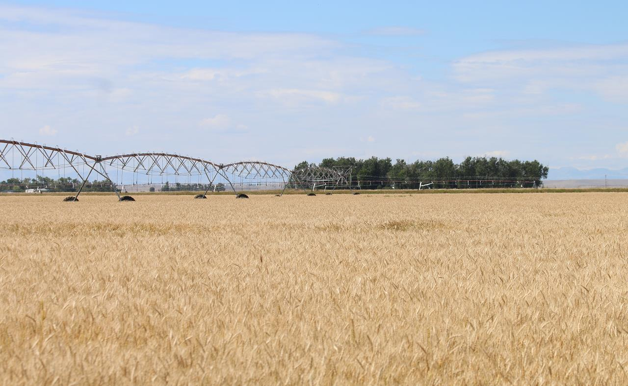 蒙大拿州 是美国的 农业大州之一,图为当地大瀑布城附近的 小麦农场 . 央视新闻 图