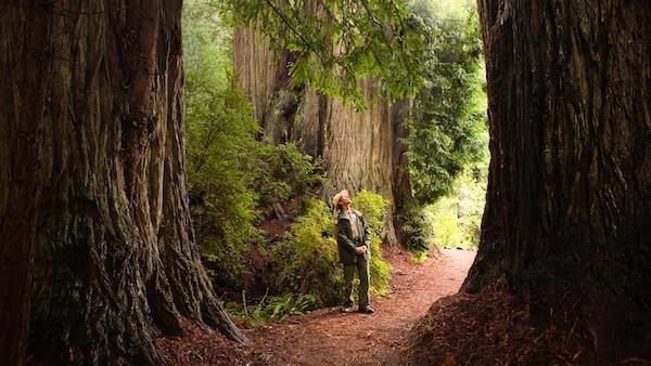 红木国家及州立公园的参天巨木