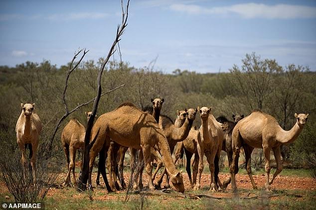 澳大利亚骆驼 《每日邮报》图
