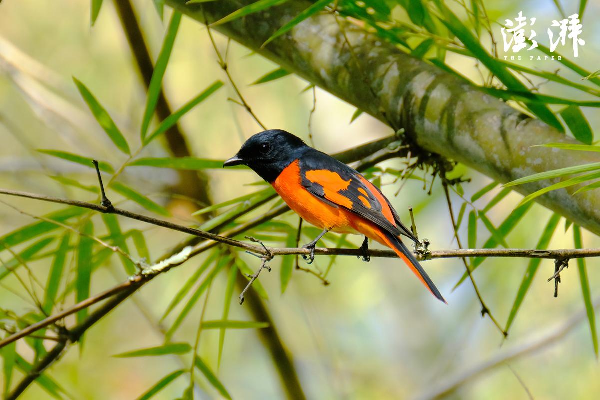 赤红山椒鸟