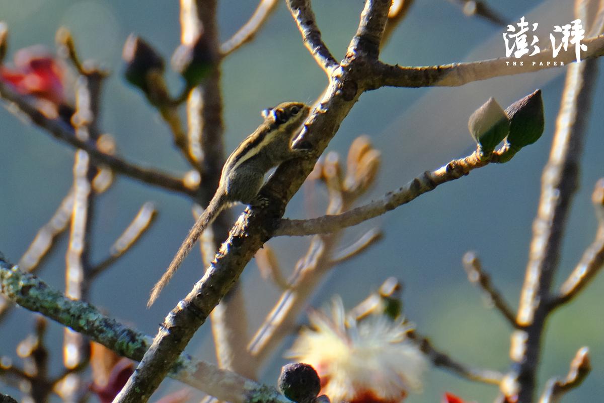 明纹花松鼠,中国最小的松鼠