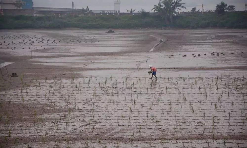 ▲禾虫滩栽种咸水稻