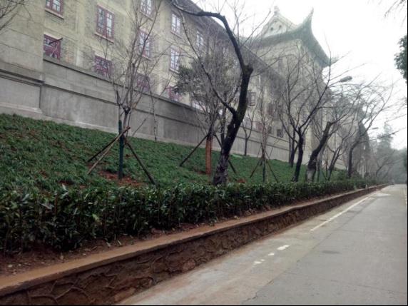 改造后的武汉大学樱花大道。