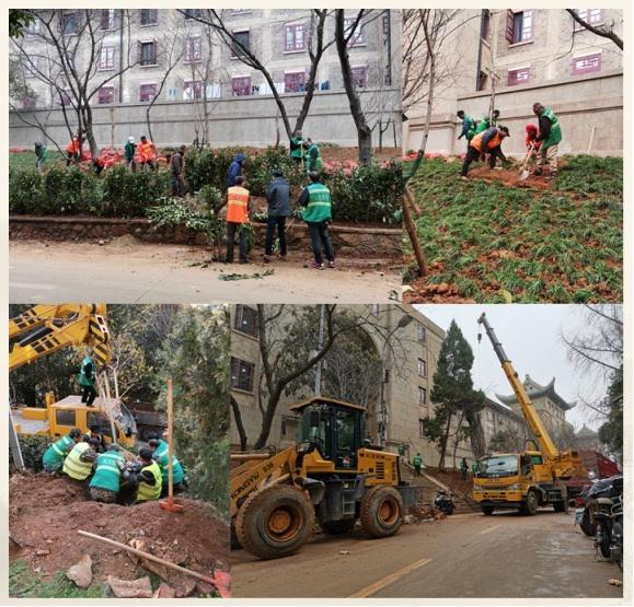 绿化环卫工人在紧急补种樱花。