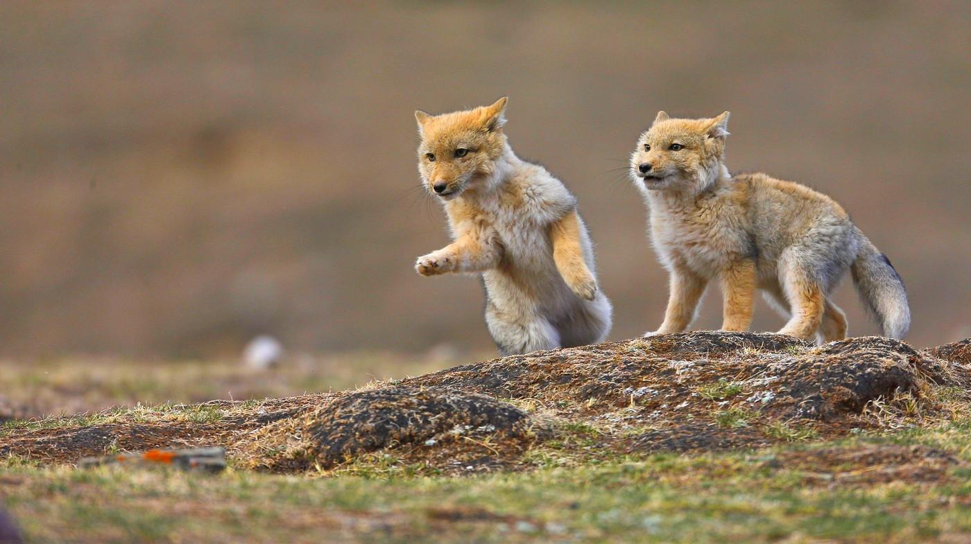 青海祁连山国家公园里的藏狐,摄影:鲍永清