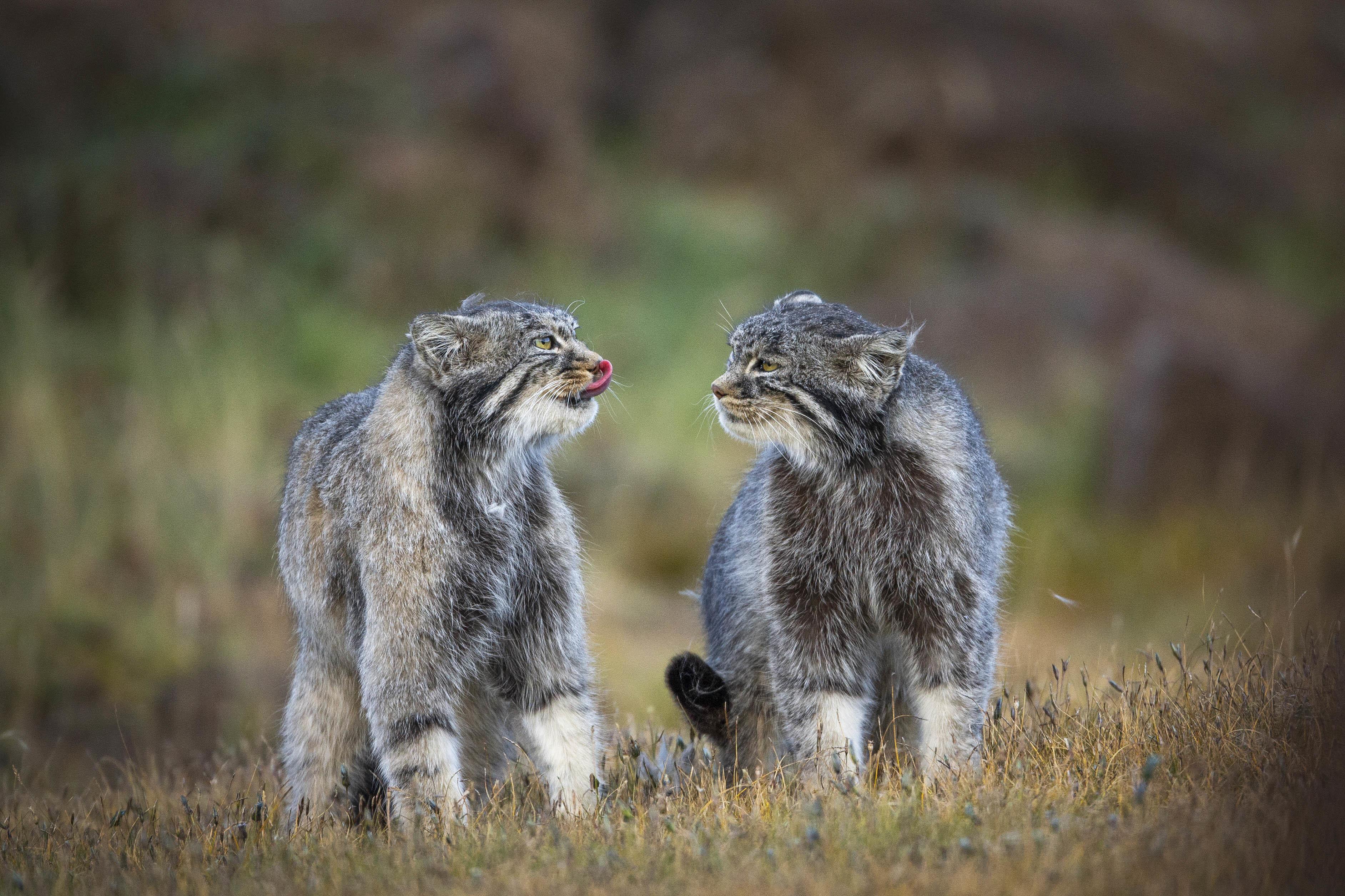图片说明:青海祁连山国家公园内的兔狲,摄影:鲍永清