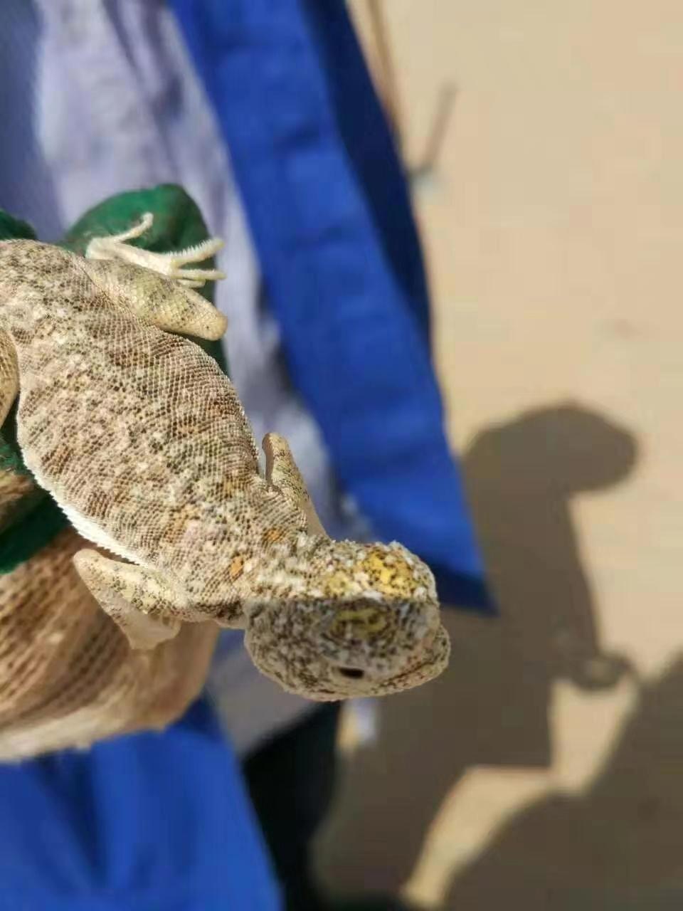"""刺尾飞蜥,被沙特当地人叫作""""沙漠之鱼""""弯毅 图"""