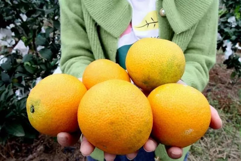 柑橘熟了!龙泉驿区这个乡村庄园邀你来采摘!
