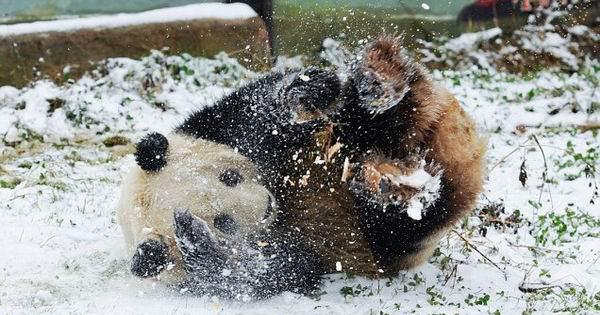 冰天雪地里满地打滚的动物王国