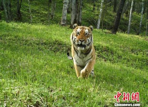 黑龙江一保护区今年5次监测到东北虎活动影像,创最高纪录 - 梅思特 - 你拥有很多,而我,只有你。。。
