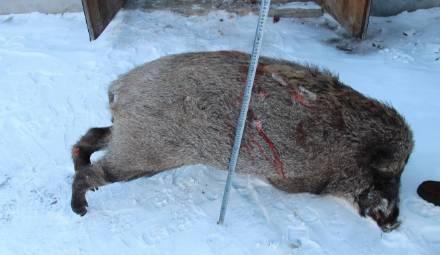 因嘴馋想吃野味,内蒙古四人下农药毒死31头野猪被刑拘 - 梅思特 - 你拥有很多,而我,只有你。。。