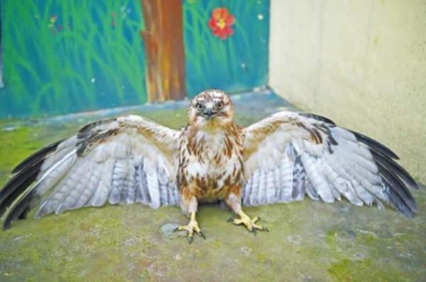 河南一只猛禽大鵟饿晕在麦田,专家:持续雾霾致其看不清猎物 - 梅思特 - 你拥有很多,而我,只有你。。。