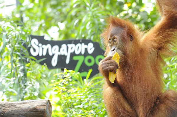 新加坡动物园 坐落于热带雨林之中的新加坡动物园因其开放式的园区设计而闻名遐迩,这里拥有世界首个红毛猩猩自由栖息区,以及一个以疗愈和研究为出发点设立的野生动物保健及研究中心。后者允许访客观看兽医为野生动物实施手术治疗的全过程,馆内的展示廊设有帮助访客理解兽医工作的多媒体互动展示。 其他不容错过的景点还包括于近期刚完成整修的脆弱森林,以及亚洲大象园、澳洲旷野、埃塞俄比亚大裂谷。