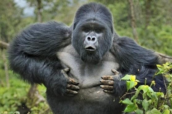 猩猩生气的图片可爱