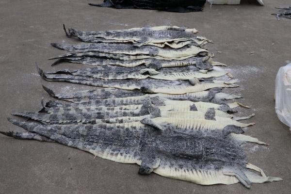广西海警查获1609张涉嫌走私鳄鱼皮,500余公斤鳄鱼肉 - 梅思特 - 你拥有很多,而我,只有你。。。