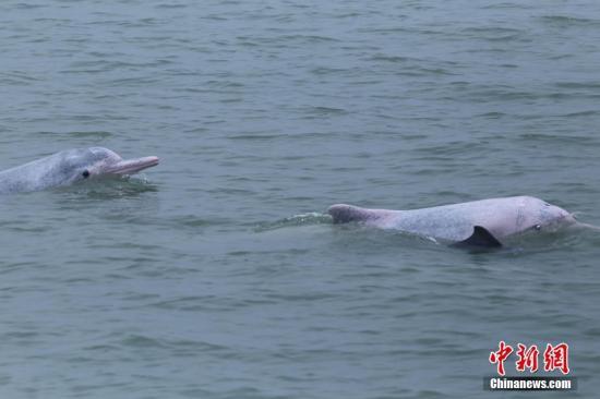 误入广东台山内河中华白海豚已去世,多次驱赶仍未能送回大海 - 梅思特 - 你拥有很多,而我,只有你。。。