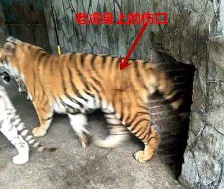 """贵阳野生动物园饲养员被曝网络直播""""虐虎"""",相关部门调查 - 梅思特 - 你拥有很多,而我,只有你。。。"""