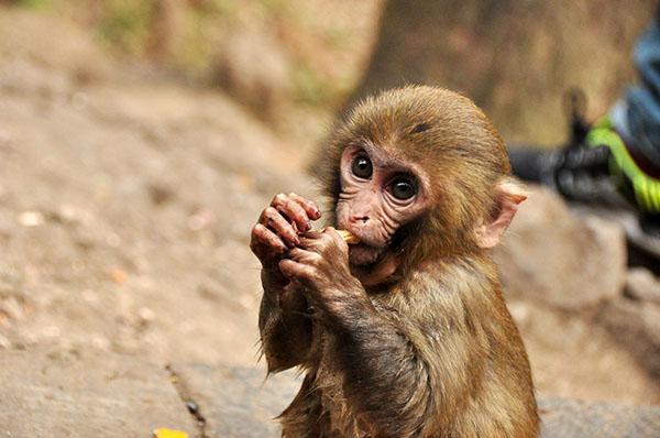 内蒙古一男子买猕猴当宠物,因非法收购濒危野生动物获刑半年 - 梅思特 - 你拥有很多,而我,只有你。。。