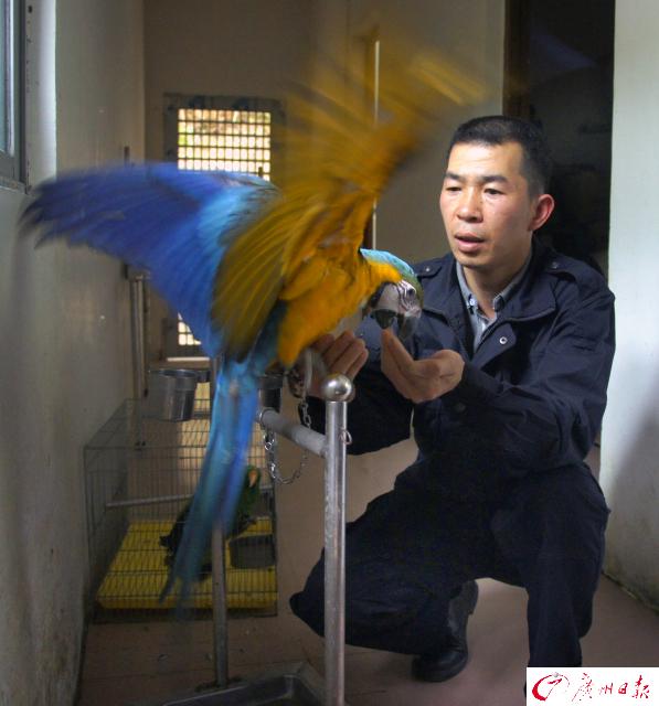 """一个人的""""动物救护园"""":罚没的鹦鹉蛋养成小鹦鹉,喊他小林 - 梅思特 - 你拥有很多,而我,只有你。。。"""