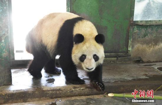 """因不能满足饲养需求,兰州动物园大熊猫""""蜀兰""""将赴成都代养 - 梅思特 - 你拥有很多,而我,只有你。。。"""