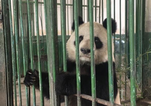 """甘肃唯一大熊猫""""蜀兰""""今晚乘机离开兰州,入蜀""""回娘家"""" - 梅思特 - 你拥有很多,而我,只有你。。。"""