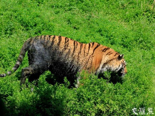 南京珍珠泉动物园老虎池水质发黑发臭,老虎下池染成黑虎 - 梅思特 - 你拥有很多,而我,只有你。。。