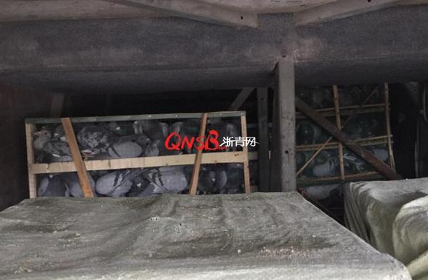 浙江嘉兴交警截获一辆大巴,行李箱里藏着229只猫头鹰 - 梅思特 - 你拥有很多,而我,只有你。。。