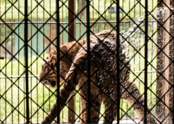 南京一动物园回应水池发臭染黑老虎:已清淤,每天冲澡两次 - 梅思特 - 你拥有很多,而我,只有你。。。