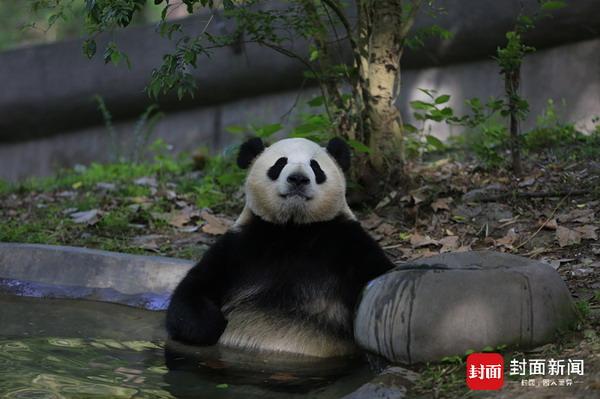 两只可爱的熊猫图片