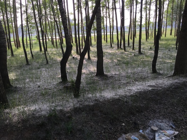 路两边的白杨树挂满了棉花一样的白絮