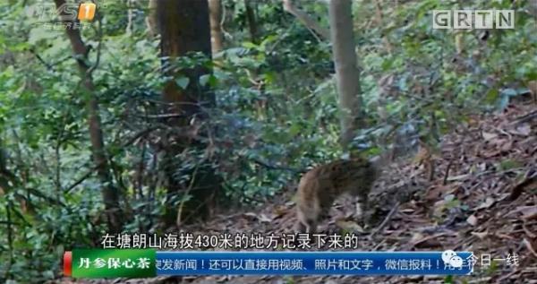 全国罕见!深圳闹市区现多只野生豹猫,专家建议减少人类干预 - 梅思特 - 你拥有很多,而我,只有你。。。