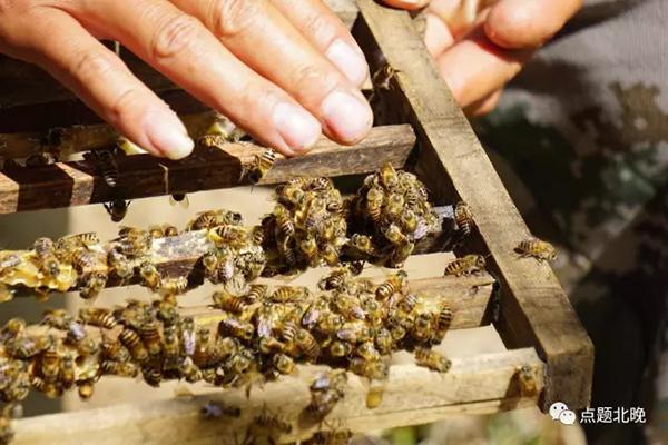 中华蜜蜂已成濒危物种,你平时见到的蜜蜂都来自西方 - 梅思特 - 你拥有很多,而我,只有你。。。