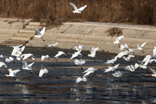 陕西省级保护区万亩黄河湿地违法开发,野生鸟类栖息地被毁 - 梅思特 - 你拥有很多,而我,只有你。。。