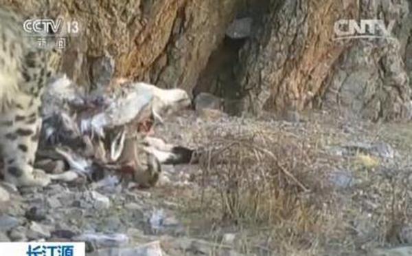 长江源珍贵野生动物活动视频首次披露:雪豹岩羊和神秘的小洞 - 梅思特 - 你拥有很多,而我,只有你。。。