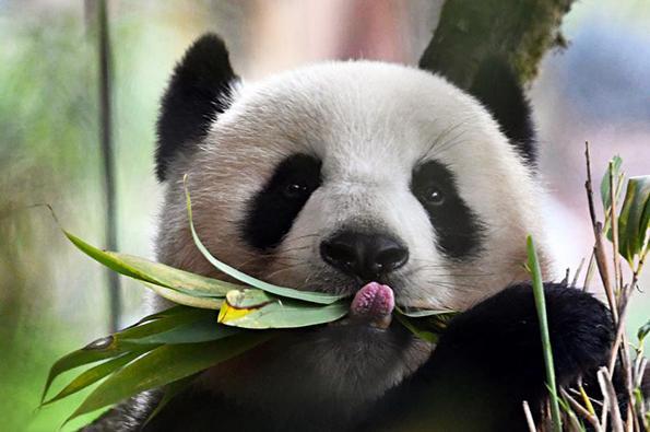 大熊猫国家公园方案获批,川陕甘三省80多个保护地被划入 - 梅思特 - 你拥有很多,而我,只有你。。。