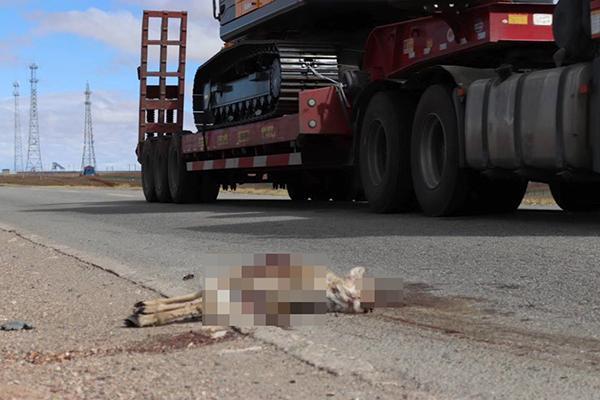 一只藏原羚在青藏公路可可西里路段被撞死,系二级保护动物