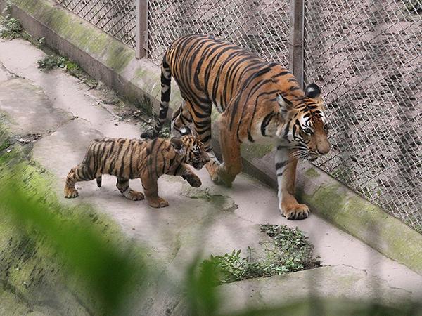虽然在不到3年时间内新增华南虎数量超过50只,但整个种群仍处在濒危