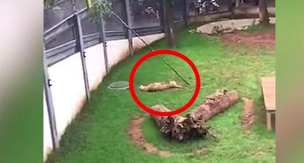 释新闻|专家:昆明动物园两虎打斗致死疑似行为异常而非发情