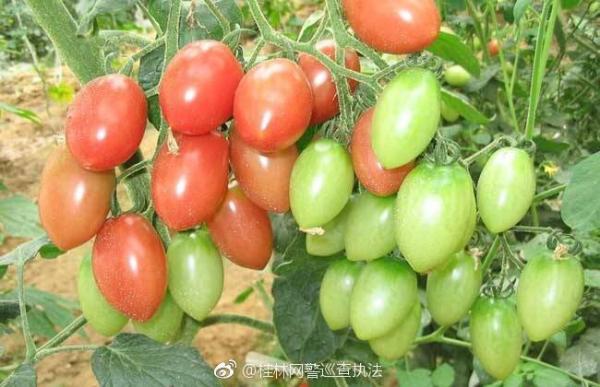 网警辟谣:转基因顺口溜中提到的水果蔬菜都不是转基因品种
