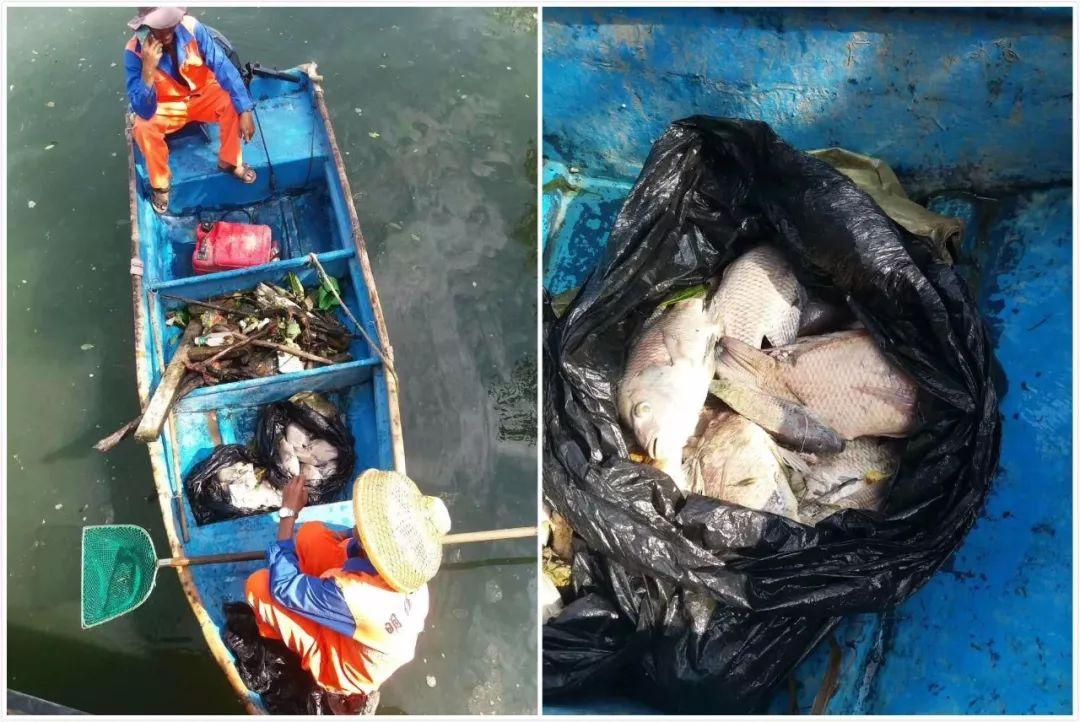 三亚临春河上游漂浮上百条死鱼,疑似有人从菜场买来放生