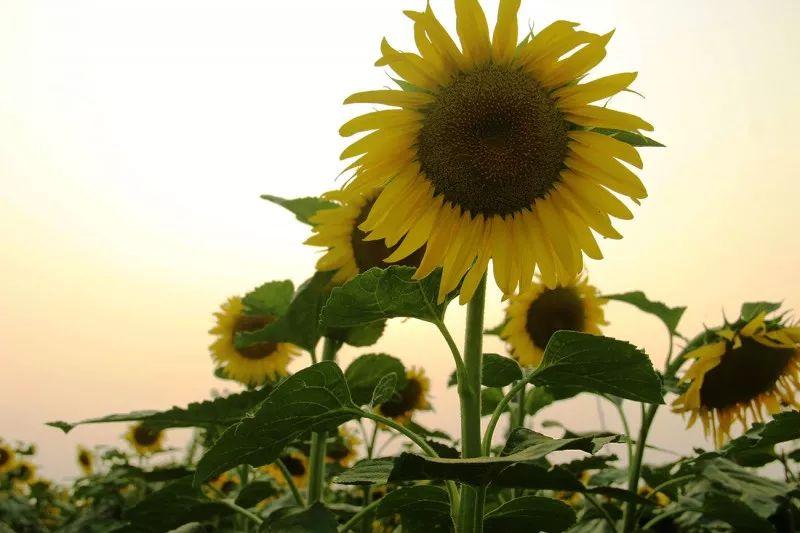阜阳这个地方千亩向阳花海盛放!周末约起来