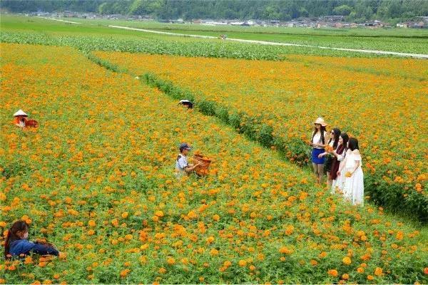 在腾冲湿润的雨季 有一片由万寿菊组成的橙色花